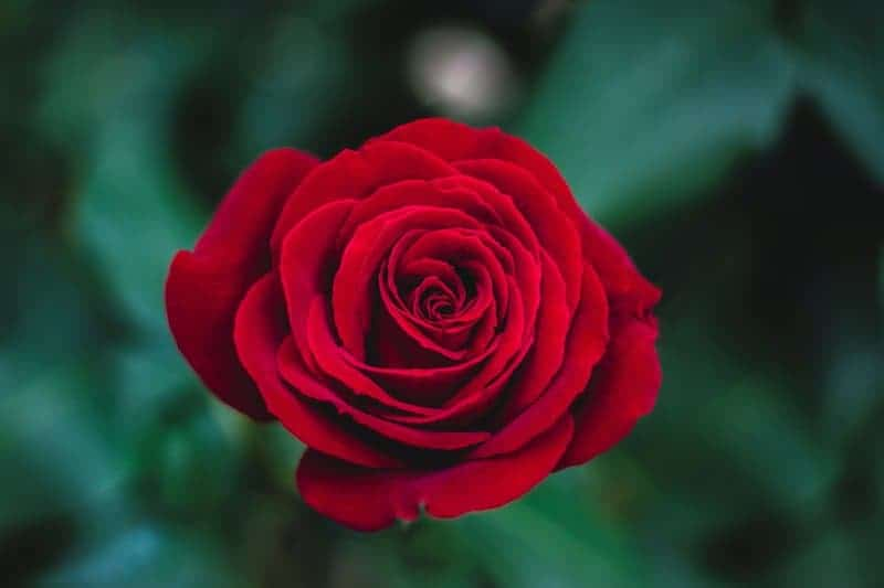 Charming red rose